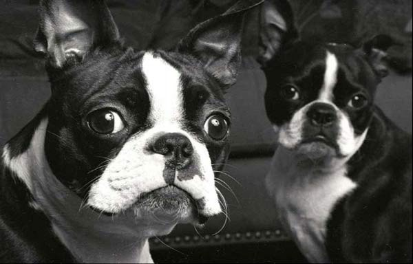Boston Terriers so cute!