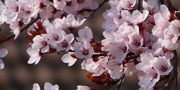 Rysk körsbärsbuske Schedraja. vitrosa blomning, mycket härdig (Zon V). ger också körsbär i augusti. Höjd 2-2,5 m. Plantorna i 3L kruka, Prunus cerasus 'Schedraja'.