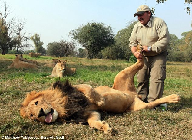Lion massage to keep them calm by Alex Larenty.: Big Cat, Insects Repellent, Realman, Lion Pictures, A Real Man, South Africa, Foot Massage, Animal, Alex O'Loughlin