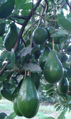As frutas que as mudas de nosso viveiro produzem