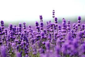 """Lavender  Soothing, extend sleep, """"increased vigor"""" the morning after exposure"""