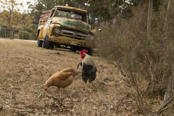 """http://ift.tt/2yXPH6O of the """"Chicken Tax"""" a tariff imposed by the US in the 1960s as a result of the Chicken War(!) with Europe. This bizarre tariff is one of the main reasons compact pickup trucks barely exist in the United States today. You can't make this stuff up."""