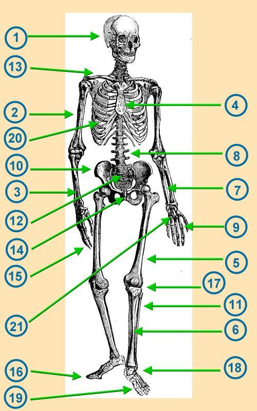 Palkan: Das Skelett - Kennst du die Knochen des Menschen?