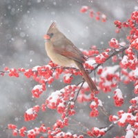 Isn't she beautiful?  I love female cardinals.: Female Cardinals, Beauty Female, Winter Photography, Beauty Cardinals, Photography Tips, Winter Cardinals, Feathers, Pretty, Birds And Bloom Magazines