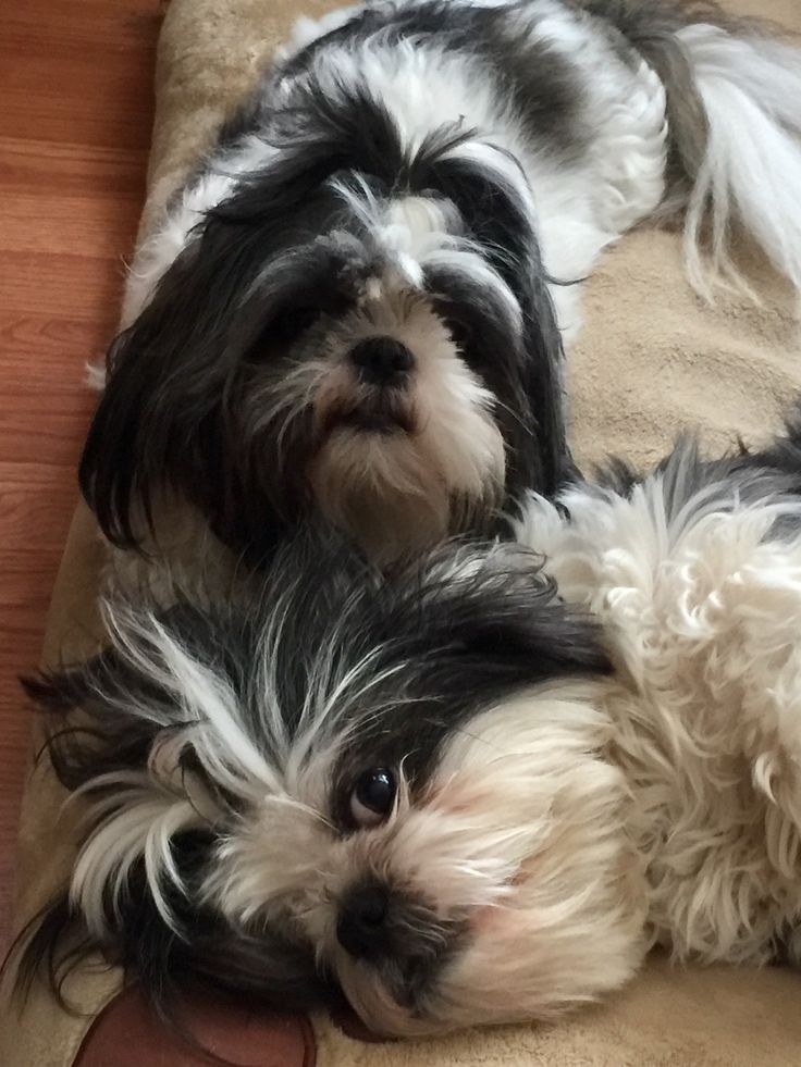 Pin by Bobbi Ann Cook on My fur babies #1 (through ...  |Shitzu Puppies New Years Eve