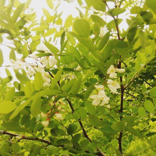 Роби́ния ложноака́циевая, или робиния лжеака́ция, или робиния псевдоака́ция, или робиния обыкнове́нная (лат.Robínia pseudoacácia)— быстрорастущее лесообразующее засухоустойчивое дерево, вид рода Робиния (Robinia) семейства Бобовые (Fabaceae). Общеупотребительное русское название растения (ботанически ошибочное)— «бе́лая ака́ция». Растение происходит из Северной Америки, натурализовалось во многих регионах планеты с умеренным климатом. Активно культивируется— и как декоративное растение…