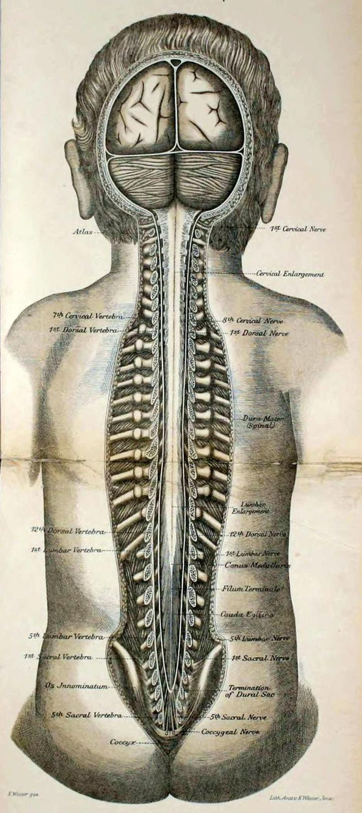 The Preparation of Oblique Spinal Cord Slices for Ventral ...