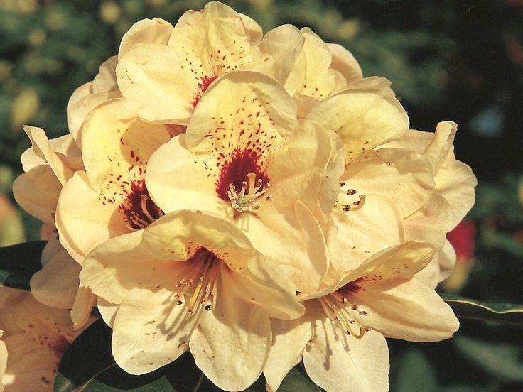 Rhododendron Rudolf Heinemann