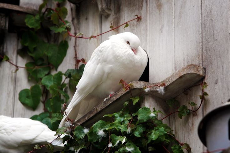 Our resident Doves