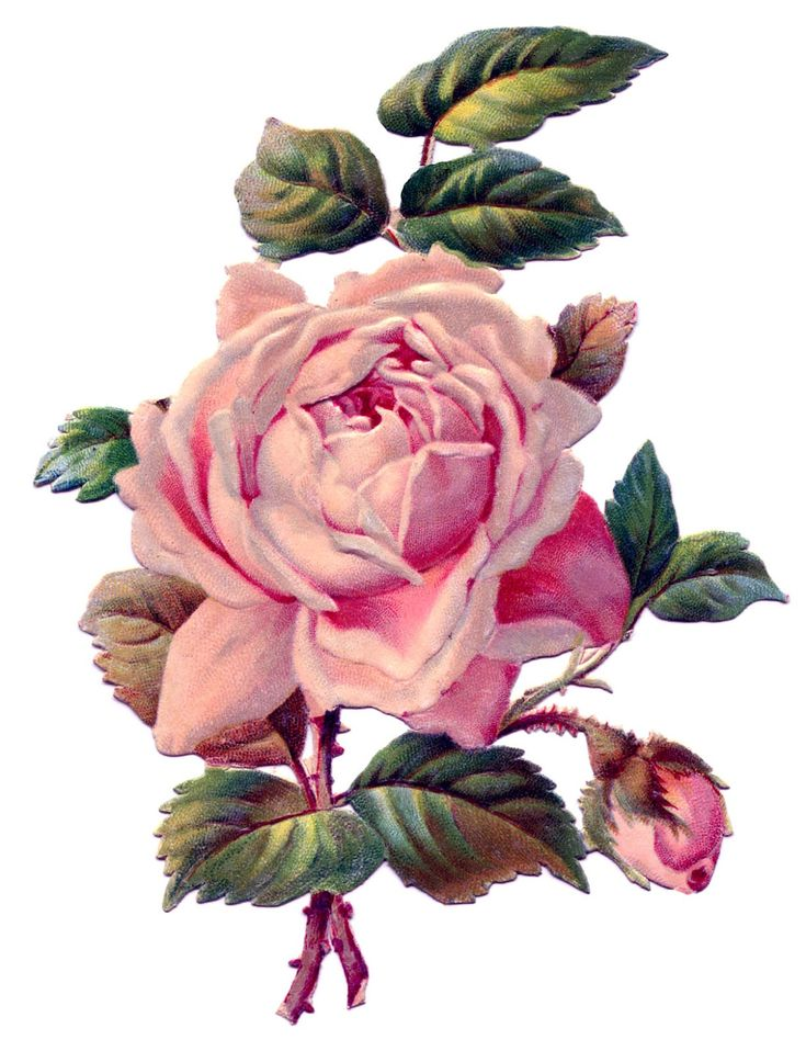 Vintage Image - Pretty Pink Rose