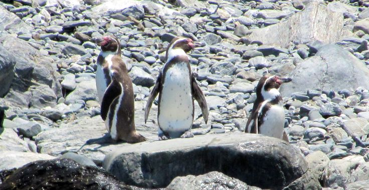 Penguins- Isla Damas, Chile