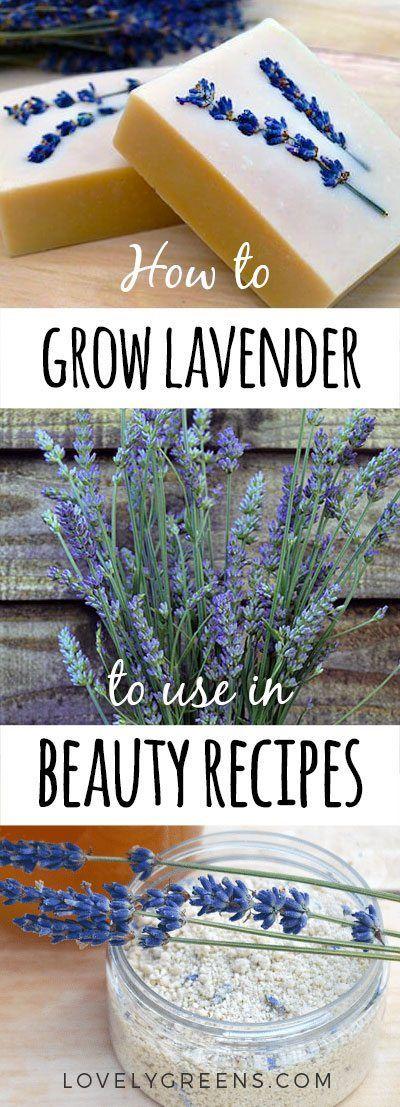 How to grow lavender for skincare recipes