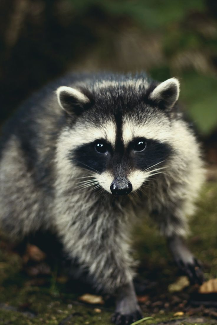 1236 best raccoons images on pinterest racoon wild animals and