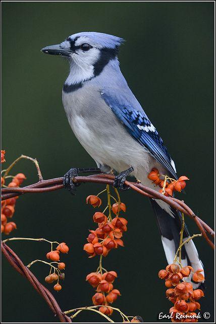 Blue Jay - by Earl Reinink
