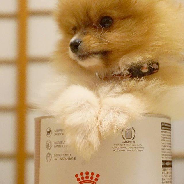 ここ、なんか落ち着く~♨ - 体重測るカゴを探しててたら、 粉ミルク缶がぴったりサイズ。 しかも暴れなくなりました。 今しか見れない貴重な時間 - #パピー #ポメ #ポメラニアン #ふわもこ部 #わんこ #多頭飼い #もふもふ #愛犬 #かわいい #いぬばか部 #やんちゃ #いぬ #犬 #ペット #一蘭ちゃん #いぬのきもち #puppydog #puppy #pomeranian #pompom #pomeranians #companionanimal #dog #dogs #cutedog #dogstagram #ichirunchan#mischievous #a6000 #japan