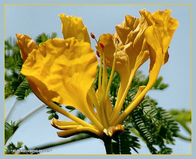 84 best delonix images on pinterest beautiful flowers blossom flavida yellow poinciana all rights reserved black diamond images mightylinksfo