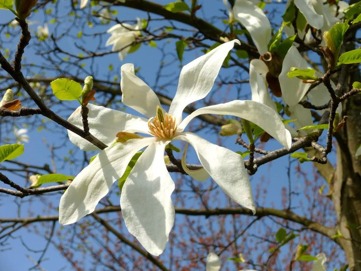 Csillagvirágú liliomfa