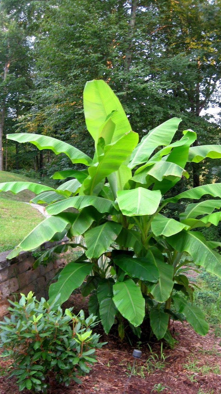 Plant Database: 225 Best Images About Tropical Plants On Pinterest