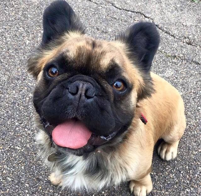 Fluffy Frenchie!