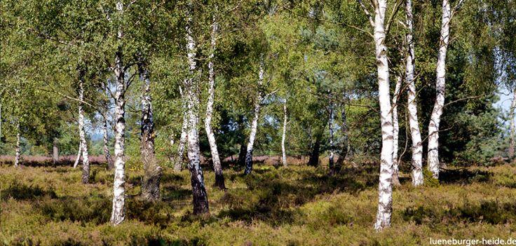 Birkenwälder sind typisch für die Lüneburger Heide