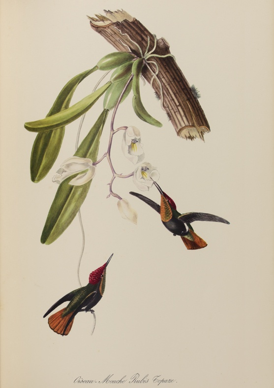 Oiseau-Mouche Rubis Topaze