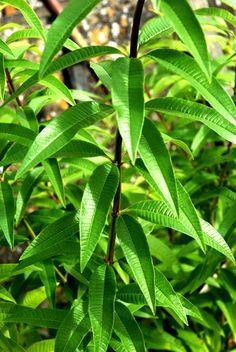 Verveine citronnelle: planter et tailler les verveines citronnelles