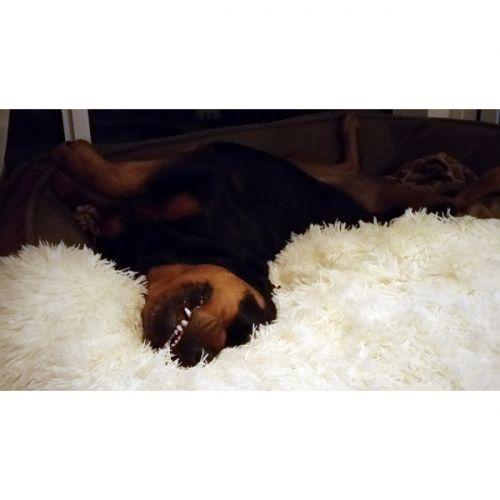 """Lang fleecepels pledd - hvit Deilig, mykt teppe med langhåret fleece til hund og katt. Super til å """"pynte"""" opp hundesengen med eller gjøre det litt ekstra koselig for hunden eller katten din. Hundehår ristes ut av teppe og det kan vaskes på 30 grader i maskinen. Ristes før du henger det opp til tørk. Farge: hvit Størrelse: M - 75 cm x 50 cmL - 100 cm x 65 cm"""