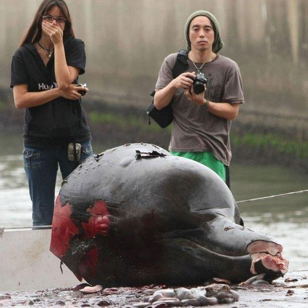 The remnants of a Dolphin carcass in Taiji after a day of massacre. This Dolphin has had its tail & fins cut off and will be taken to the warehouse to be auctioned where idiotic Japanese businessmen will buy their Mercury poisoned meat. You can see how shocking this image is by the lady's reaction.