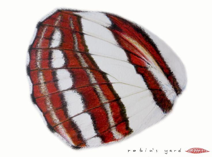 Neptis sappho (Pallas' Sailer) hindwing underside (watercolor and color pencils, 14,8x21cm)