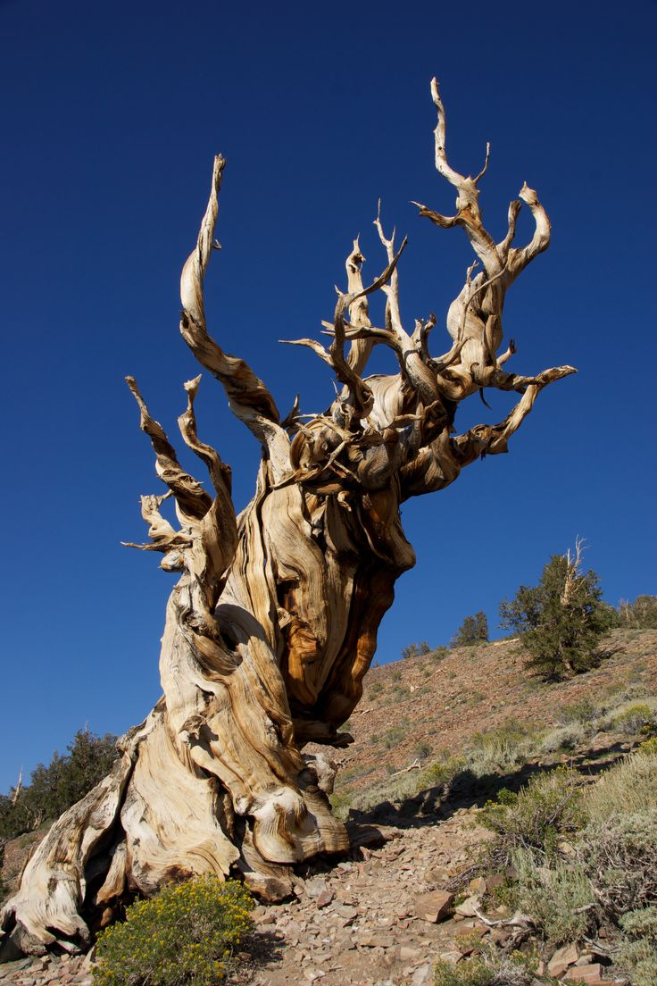 The Methuselah Grove of the ancient Bristlecone Pine Forest, in the White Mountains, Inyo County, California, USA