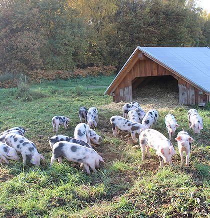 Ganzjährig an der frischen Luft - die Bunten Bentheimer lieben ihr Domizil :-) #buntesbentheimer #schweine #landhof #tierwohl