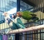We have some beautiful colored #lovebirds available, they range in many different colors.