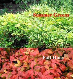 dwarf nandina  noninvasive  Planting Zones: 6, 7, 8, 9, 10  Plant Type: Evergreen  Light requirements: Full Sun, Partial Sun  Soil Conditions: Dry, Moist, Well Drained  Height at Maturity: 1 - 2 ft  Growth Rate: Slow