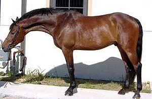 Швейцарская Теплокровная лошадь или Айнседлер