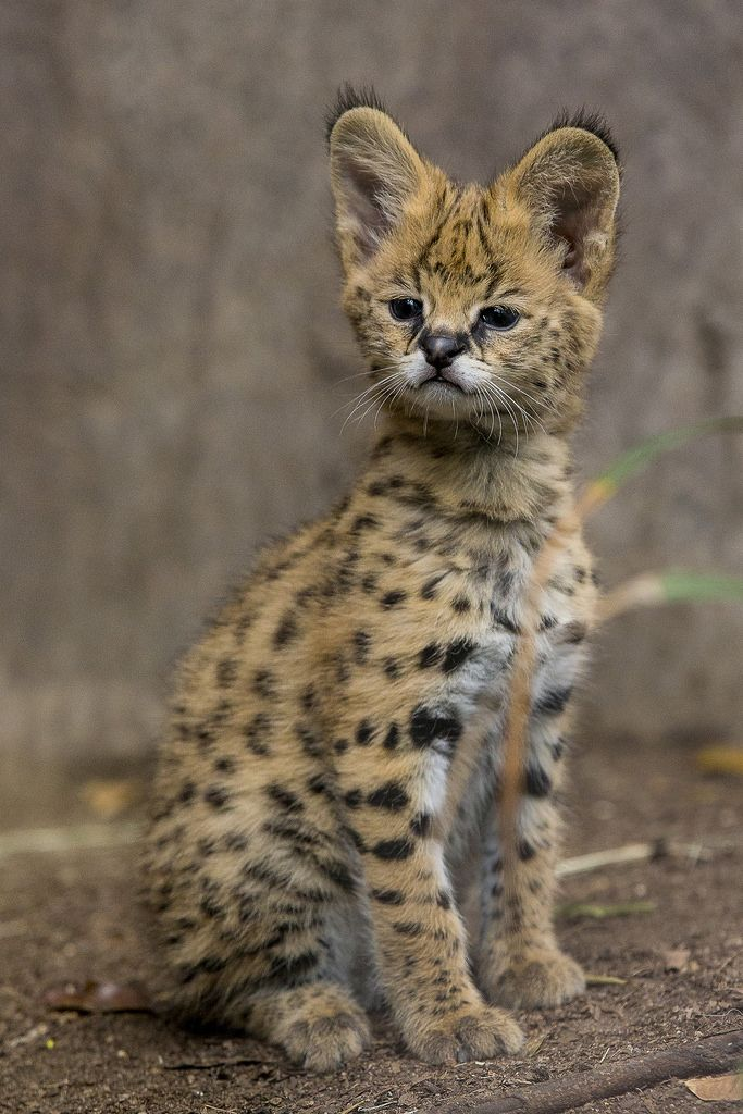 African Serval Kitten Born at San Diego Zoo   by San Diego Zoo Global