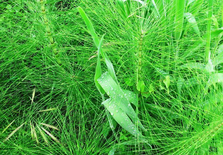 Coada-Calului (Equisetum arvense)
