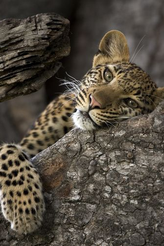 1094992.  A leopard resting in a tree.