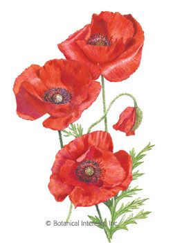 """Poppy Flanders American Legion HEIRLOOM Seeds - John McCrae, a Canadian physician and soldier who served in World War I, immortalized the Flanders poppy, also known as corn poppy. His poem, """"In Flanders Fields"""" spoke of these red poppies as reminders of those who had lost their lives in war. Scatter them in early spring or fall for your own personal memorial, or simply enjoy them for their glorious beauty."""