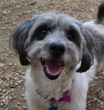 Check out Gracie Lou Freebush's profile on AllPaws.com and help her get adopted! Gracie Lou Freebush is an adorable Dog that needs a new home. https://www.allpaws.com/adopt-a-dog/shih-tzu/7163173?social_ref=pinterest
