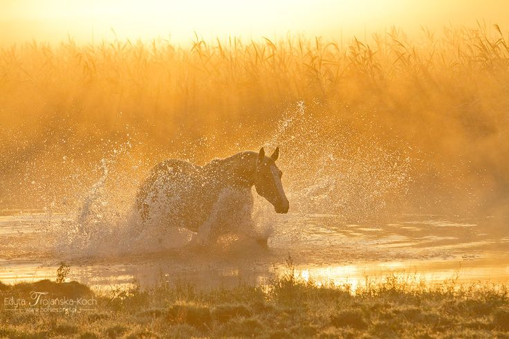 Palonmino horse galloping through the water at sunrise in the mist
