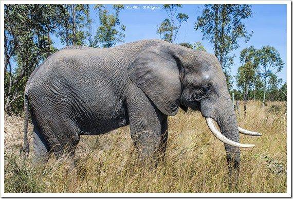 Elephant, Imire Game Park, Zimbabwe