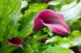Even if you don't have a green thumb, growing calla lilies in pots and containers is not difficult at all. Understand the basic potted calla lily care instructions, and you can successfully maintain this tropical flowering plant to complement your interior decor.
