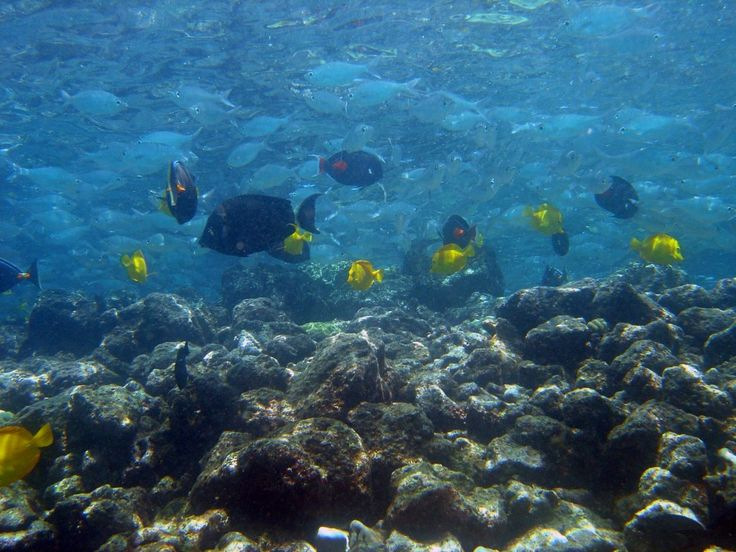 Tangs and chubs hawaii pictures of the day hawaii for Hawaii reef fish