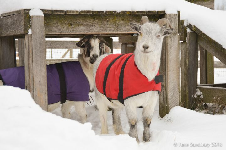 1000+ images about All things Goats on Pinterest | Goats