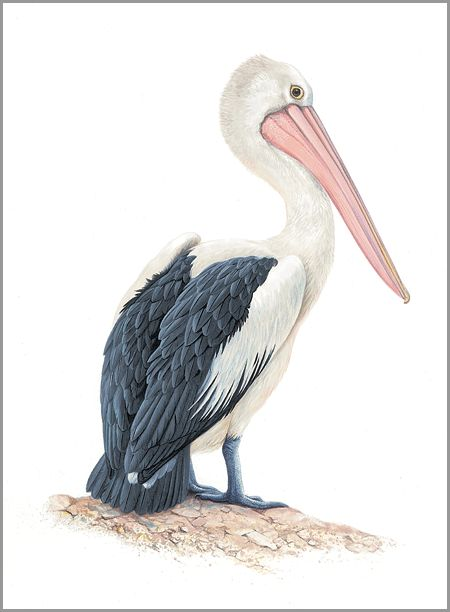 PELICAN : The Art of Jeremy Boot, One of Australia's finest wildlife artists
