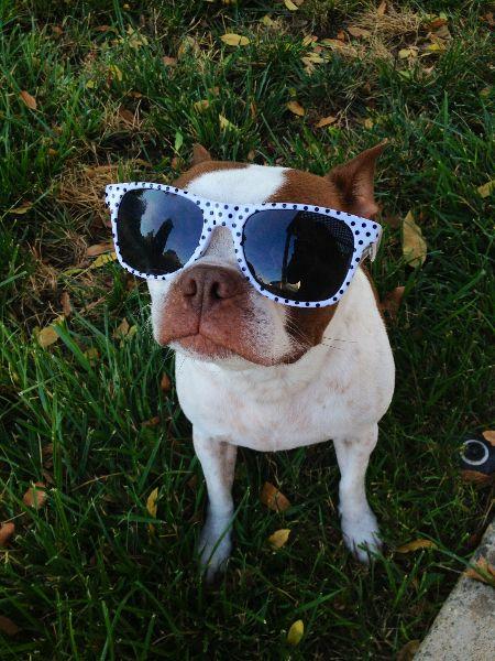 Boston Terrier In Sunglasses... How cute?
