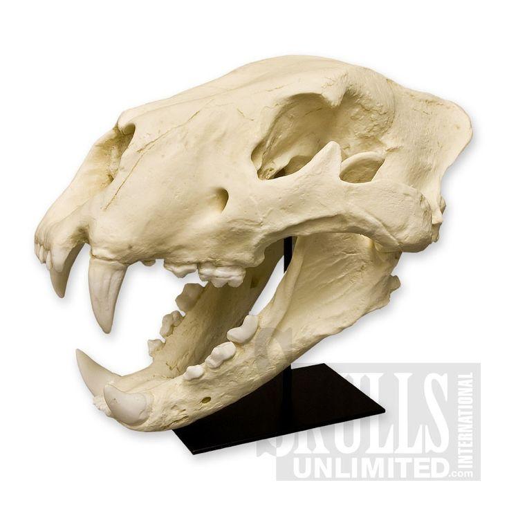 American Lion Skull with Stand (Felis atrox) | WBC-019AS