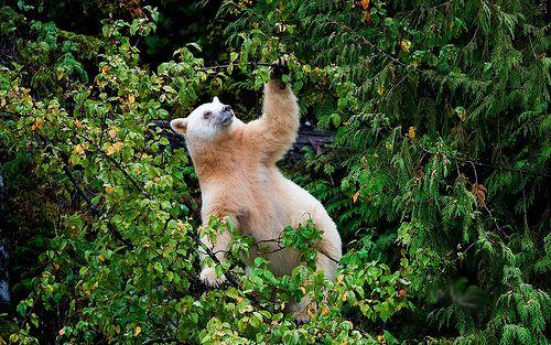 Great Bear Rainforest, a tu per tu con gli orsi | Viaggio nel Mondo