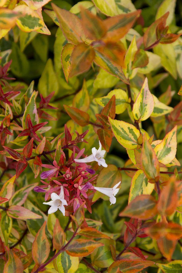 Kaleidoscope Abelia - Monrovia - Kaleidoscope Abelia