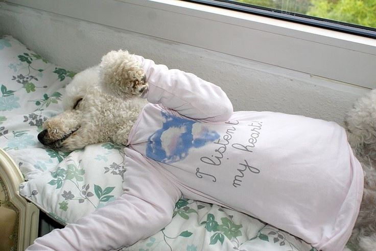 Sleepy #poodle, cute as a bug.